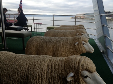Sheep, on the MONA catamaran
